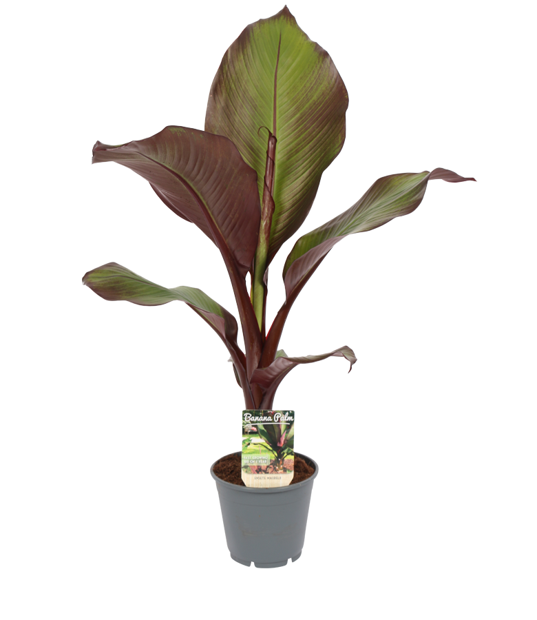 Product Ensete maurelli red banana