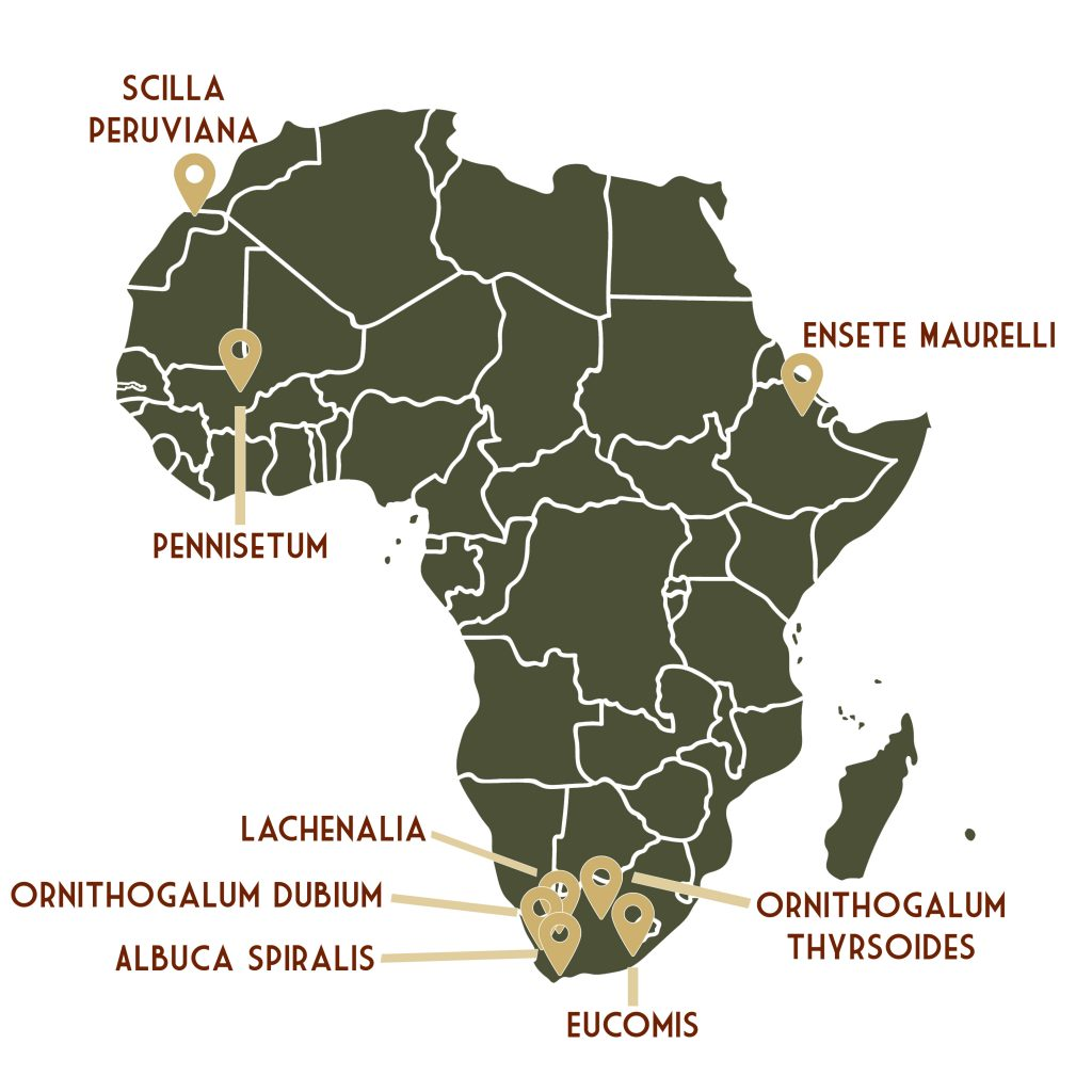 African Breeze herkomst