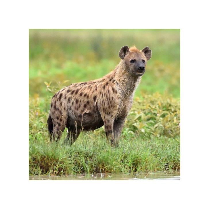 ZCP hyaena