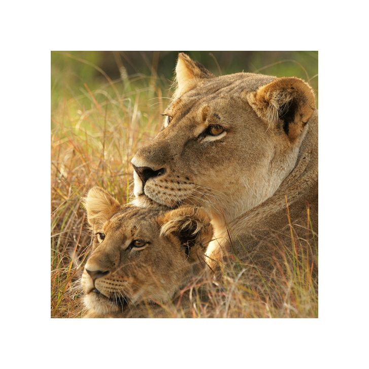 ZCP lions